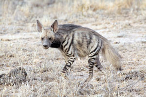 Striped Hyena Shaba