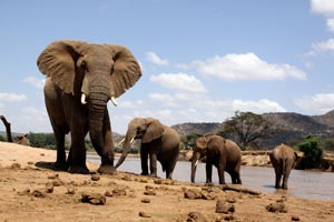 Elephant herd by the River