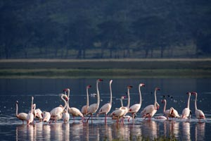 Mix of lesser and Greater flamingoes