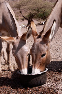 Donkeys drinking Magado Crater