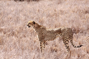 Cheetah on Lewa Downs