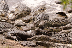 Nile crocodiles eaglely anticipate the  start of the migration