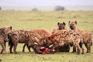 Hyena pack feasting