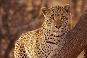 Leopard at Mombo