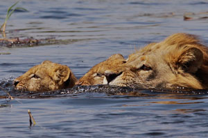 These lion cubs  were not too happy about the swim.