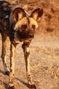 Wild dog pack at Mombo