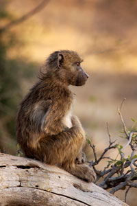 Young baboon deep in thought