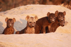Hyena pups out side their den
