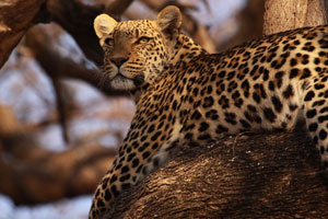 Leopard at Mombo Camp