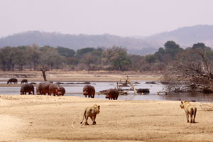 Lion with hippos on the banks of the Luangwa River