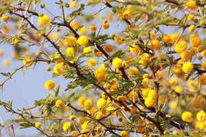 Waiting for the rain, acacia in bloom