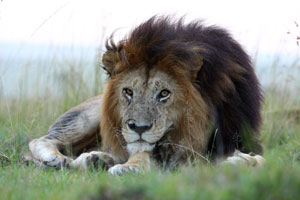 """Notch"", lion in the Mara"