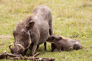 Warthog suckling its young