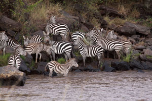 Zebras contemlate a crossing