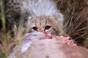 Cheetah cub feeding