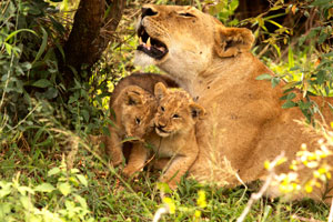 mama lioness enjoying her cubs