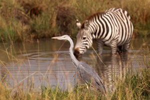 Heron with zebra