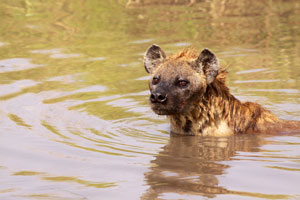 Swimming Hyena