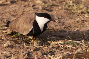 Plover and her egg