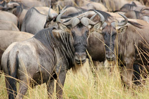 The first wildebeest herds of the season in the Mara