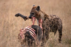 hyena and kill