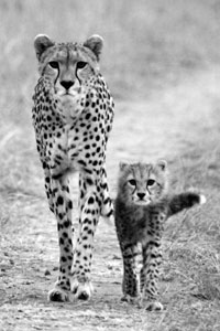 Cheetah mama and cub
