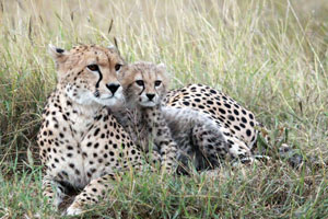 Cheetah Mama and cub, Mara