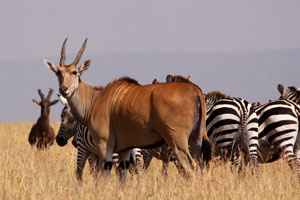 Mixed herd with Eland