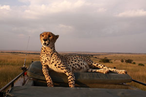 Malaika the cheetah likes to use the  roof of our car as a mobile termite mound for scouting the surrounding area