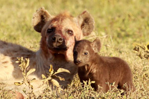 Mama hyena and her pup