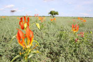 Gloriosa lillies - amazing to see wild flowers in Turkana