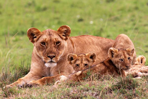 ioness and cubs, Mara