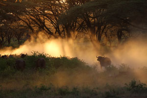 Buffalo in dust