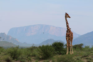 Giraffe in front of Ollokwe