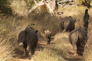 Baby rhinos heading out for  a walk with their keeper at Lewa Downs