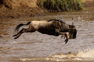 Taking the leap - a wildbeest dives into the mara river