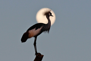 Crane by moonlight