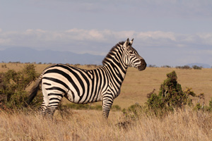 Zebra on Lewa