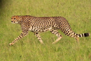 Cheetah at the start of a hunt, Mara Triangle
