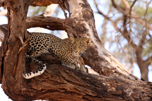 Lovely leopard in Shaba