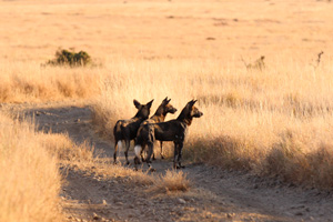 Wild dog pack on Lewa