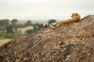 Cheetah on a Koje