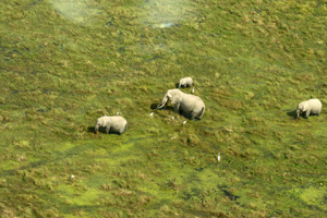 Elephanst eating in the waterways of Amboseli