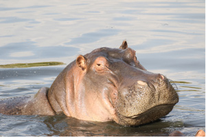 Hippo in the Mara River