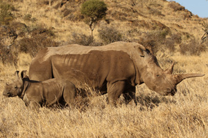 Rhinos on Lewa