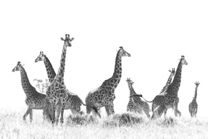 Herd of Giraffe Black and white