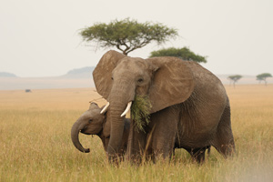 Elephant and calf Mara