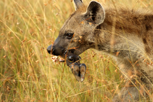 Hyena with hoof