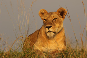 Lioness in morning light