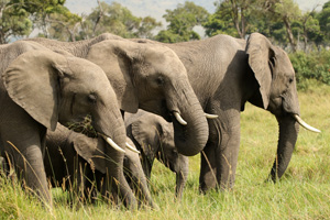 Eelephant herd in the Mara